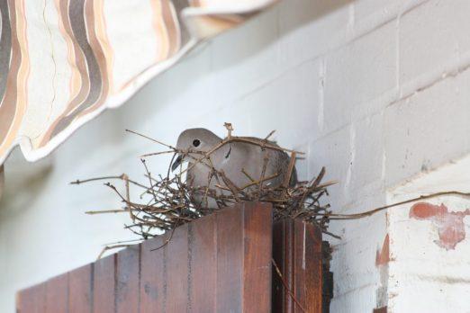 tourterelle-nid